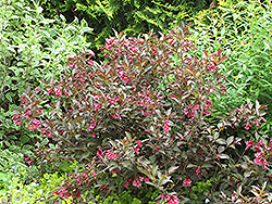 Midnight Wine® Weigela (Weigela florida 'Elvera') at Hicks Nurseries