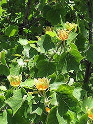 Tuliptree (Liriodendron tulipifera) at Hicks Nurseries