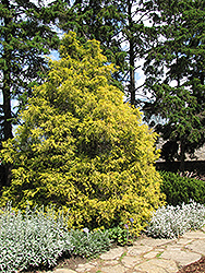 Golden Threadleaf Falsecypress (Chamaecyparis pisifera 'Filifera Aurea') at Hicks Nurseries