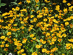 Dwarf Tickseed (Coreopsis auriculata 'Nana') at Hicks Nurseries