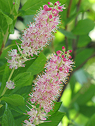 Ruby Spice Summersweet (Clethra alnifolia 'Ruby Spice') at Hicks Nurseries