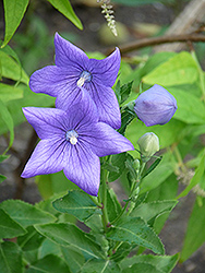 Balloon Flower (Platycodon grandiflorus) at Hicks Nurseries