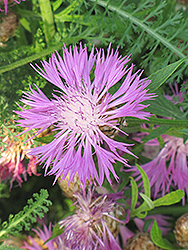 Cornflower (Centaurea dealbata) at Hicks Nurseries