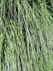 Yaku Jima Dwarf Maiden Grass (Miscanthus sinensis 'Yaku Jima') at Hicks Nurseries