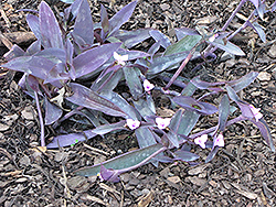 Wandering Jew (Tradescantia zebrina) at Hicks Nurseries