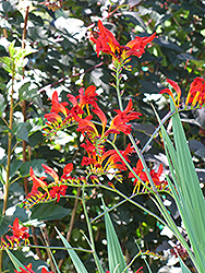 Lucifer Crocosmia (Crocosmia 'Lucifer') at Hicks Nurseries