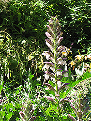 Bear's Breeches (Acanthus spinosus) at Hicks Nurseries