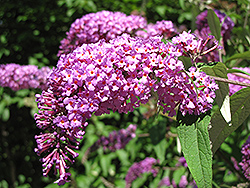 Petite Plum Butterfly Bush (Buddleia davidii 'Petite Plum') at Hicks Nurseries