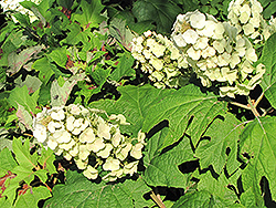 Snow Queen Hydrangea (Hydrangea quercifolia 'Snow Queen') at Hicks Nurseries
