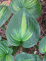Avocado Hosta (Hosta 'Avocado') at Hicks Nurseries