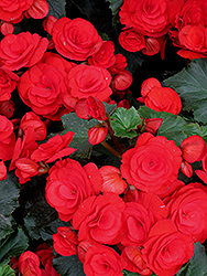 Nonstop® Red Begonia (Begonia 'Nonstop Red') at Hicks Nurseries