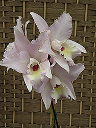 Maui Beauty Cattleya Orchid (Cattleya dubescens 'Maui Beauty') at Hicks Nurseries