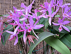Guatemalan Cattleya Orchid (Cattleya guatemalensis) at Hicks Nurseries