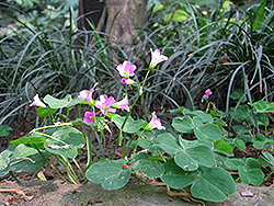 Pink Wood Sorrel (Oxalis crassipes 'Rosea') at Hicks Nurseries