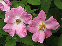 Rugosa Rose (Rosa rugosa) at Hicks Nurseries