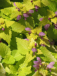 Golden Spotted Dead Nettle (Lamium maculatum 'Aureum') at Hicks Nurseries
