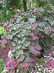 Forest Pansy Redbud (Cercis canadensis 'Forest Pansy') at Hicks Nurseries