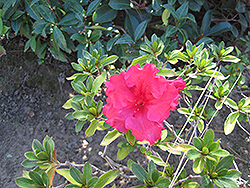 Bloom-A-Thon® Red Azalea (Rhododendron 'RLH1-1P2') at Hicks Nurseries