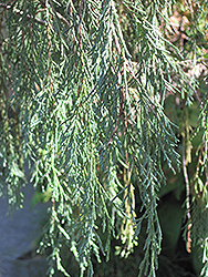 Tolleson's Weeping Juniper (Juniperus scopulorum 'Tolleson's Weeping') at Hicks Nurseries