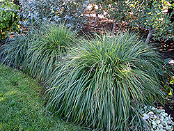 Moudry Fountain Grass (Pennisetum alopecuroides 'Moudry') at Hicks Nurseries