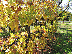 Merlot Grape (Vitis 'Merlot') at Hicks Nurseries
