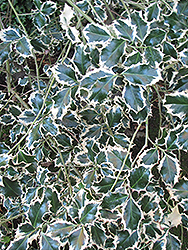 Variegated English Holly (Ilex aquifolium 'Variegata') at Hicks Nurseries