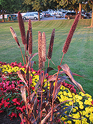 Purple Majesty Millet (Pennisetum glaucum 'Purple Majesty') at Hicks Nurseries