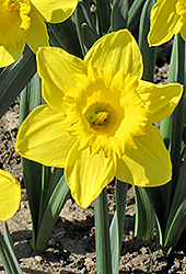 King Alfred Daffodil (Narcissus 'King Alfred') at Hicks Nurseries