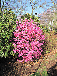 Landmark Rhododendron (Rhododendron 'Landmark') at Hicks Nurseries