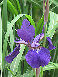 Caesar's Brother Siberian Iris (Iris sibirica 'Caesar's Brother') at Hicks Nurseries
