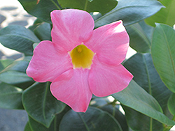 Red Riding Hood Mandevilla (Mandevilla sanderi 'Red Riding Hood') at Hicks Nurseries