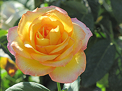 Gold Medal Rose (Rosa 'Gold Medal') at Hicks Nurseries