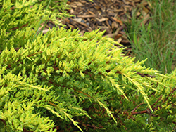 Daub's Frosted Juniper (Juniperus x media 'Daub's Frosted') at Hicks Nurseries