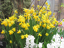 Tete a Tete Daffodil (Narcissus 'Tete a Tete') at Hicks Nurseries