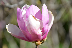 Jane Magnolia (Magnolia 'Jane') at Hicks Nurseries