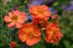 Oso Easy® Paprika Rose (Rosa 'ChewMayTime') at Hicks Nurseries