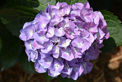 Cityline® Berlin Hydrangea (Hydrangea macrophylla 'Berlin Rabe') at Hicks Nurseries