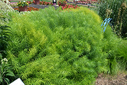 Narrow-Leaf Blue Star (Amsonia hubrichtii) at Hicks Nurseries