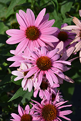 Prairie Splendor Coneflower (Echinacea purpurea 'Prairie Splendor') at Hicks Nurseries