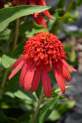 Cone-fections™ Hot Papaya Coneflower (Echinacea 'Hot Papaya') at Hicks Nurseries