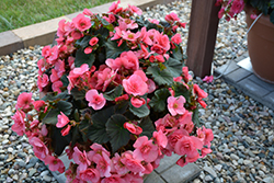 Solenia® Light Pink Begonia (Begonia 'Solenia Light Pink') at Hicks Nurseries