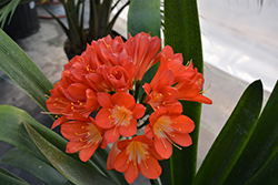 Bush Lily (Clivia x miniata) at Hicks Nurseries