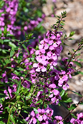 Sungelonia® Deep Pink Angelonia (Angelonia angustifolia 'Sungelonia Deep Pink') at Hicks Nurseries