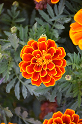 Durango Flame Marigold (Tagetes patula 'Durango Flame') at Hicks Nurseries