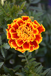 Durango Bee Marigold (Tagetes patula 'Durango Bee') at Hicks Nurseries