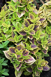 Gays Delight Coleus (Solenostemon scutellarioides 'Gays Delight') at Hicks Nurseries