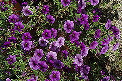 Callie® Dark Blue Calibrachoa (Calibrachoa 'Callie Dark Blue') at Hicks Nurseries