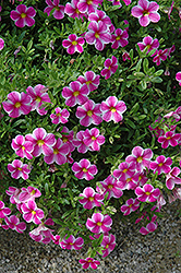 Callie® Star Pink Calibrachoa (Calibrachoa 'Callie Star Pink') at Hicks Nurseries