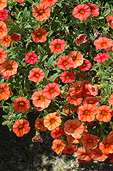 Superbells® Dreamsicle Calibrachoa (Calibrachoa 'Superbells Dreamsicle') at Hicks Nurseries