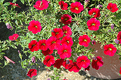 Superbells® Red Calibrachoa (Calibrachoa 'Superbells Red') at Hicks Nurseries